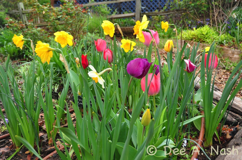 Daffodils and tulips in the back garden. They are as colorful as Easter eggs.