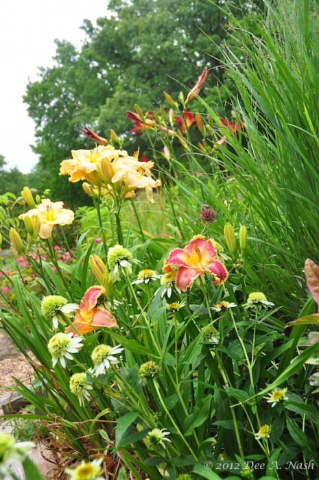 Hemerocallis 'John Peat' (Petit 2001) in the foreground with Echinacea purpurea 'Coconut Lime' and H. 'Victorian Lace' (Stamile 1999)