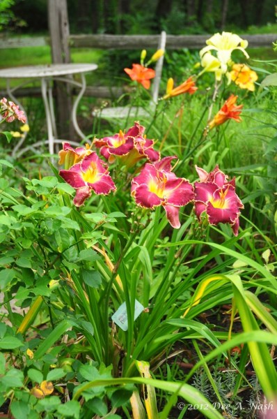Dee Nash-Hemerocallis 'Midnight Madness' (Peat 2003), a very dark purple that grows in morning sun. Notice the blackspot on the Rosa 'Belinda's Dream' next to it. My garden isn't perfect, but it is natural and as organic as I can make it.