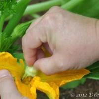 Pollinating summer squash