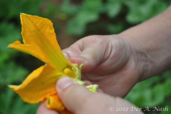 Pulling off the petals to expose the stamen