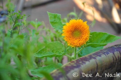 Helianthus 'Teddy Bear' sunflower is very small. Mine were shorter than the two feet on the package.