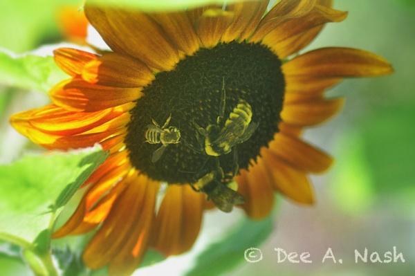 Sunflower Symphonies Red Dirt Ramblings 174