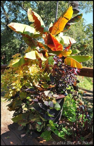 Banana tree, coleus and sweet potato vine in a large container.
