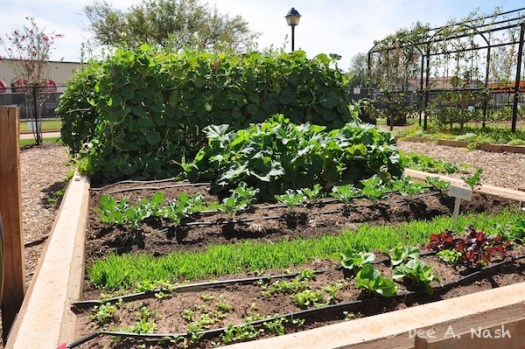 Great vegetable bed at the Chesapeake employee garden that was part of the Oklahoma Garden Tour for Connoisseurs in 2011. It will again be on tour this year. You shouldn't miss it.