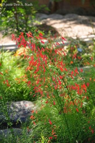 Russelia equisetiformis, coral fountain, firecracker plant