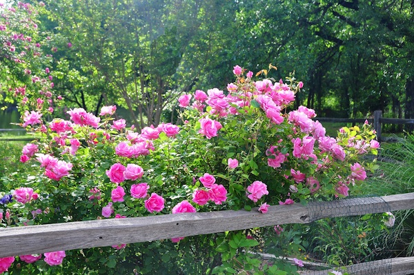 Rosa 'Carefree Beauty' against an old fence in my back garden.