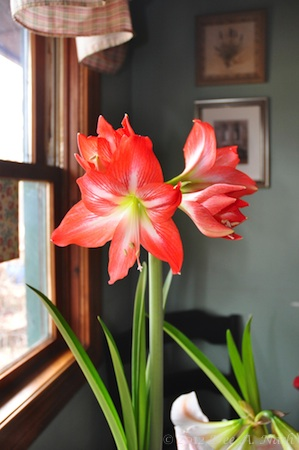 Amaryllis (Hippeastrum) 'Naughty Lady' is jewel toned that is if jewels were ever tangerine.