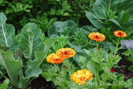 Darling calendulas in my potager.