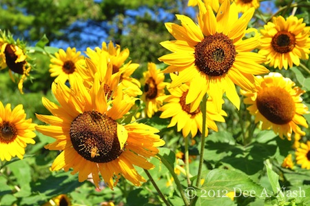 Bevy of sunflowers at the Indianapolis Children's Garden. I bet these were planted directly in the garden.
