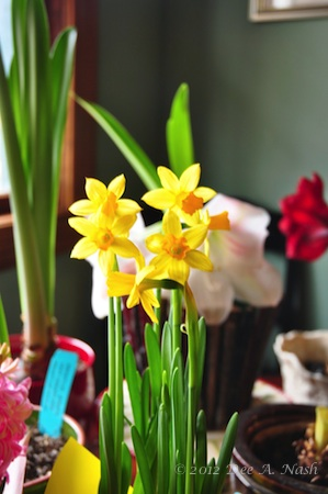 Tiny narcissus from the grocery store.