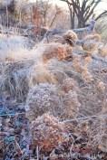 A frosty shot of Hydrangea 'Annabelle'