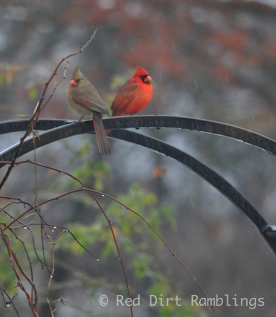 A pair of Northern Cardinals rest on the rose arbor.