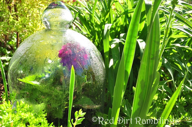 Glass cloche covering a dahlia. It gets hot under there so remove as soon as possible.