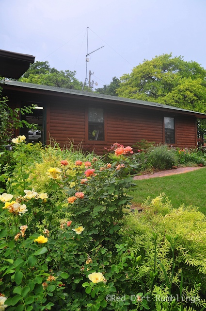 Rosa 'About Face' and 'Carefree Sunshine' and a view of the garage garden.