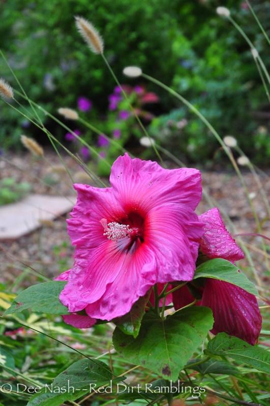 Hibiscus 'Moy Grande'
