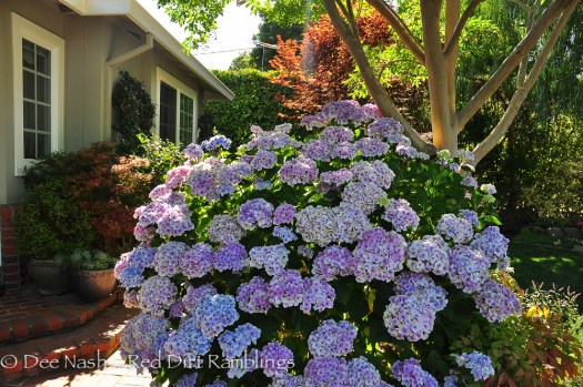 I was impressed by the size of this hydrangea. Rebecca is planning to remove her front lawnette. I'm fond of a bit of lawn, but in California, I can see why she might want remove it.