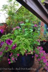 Pilea microphylla (artillery fern), Supertunia Sangria Charm, Pentas lanceolata 'Starburst', Shock Wave Deep Purple Petunia (actually pinkish) and a purple alternanthera.