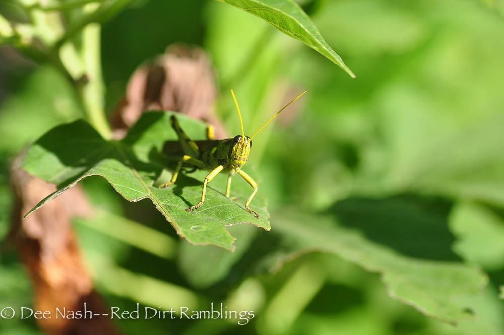 A grasshopper on perennial hibiscus.