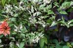 'Jigsaw' ornamental pepper