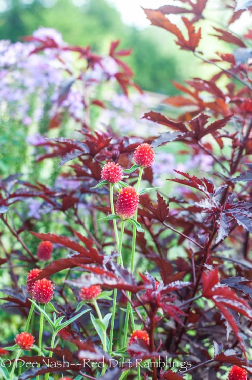 Red globe amaranth with 'Haight Ashbury' hibiscus. Doesn't it look like marijuana?