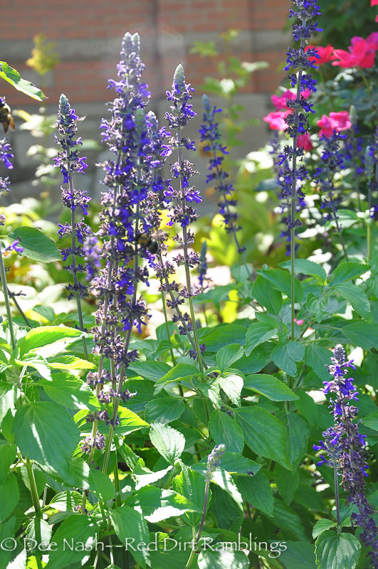 Three salvias to salivate over - Red Dirt Ramblings®