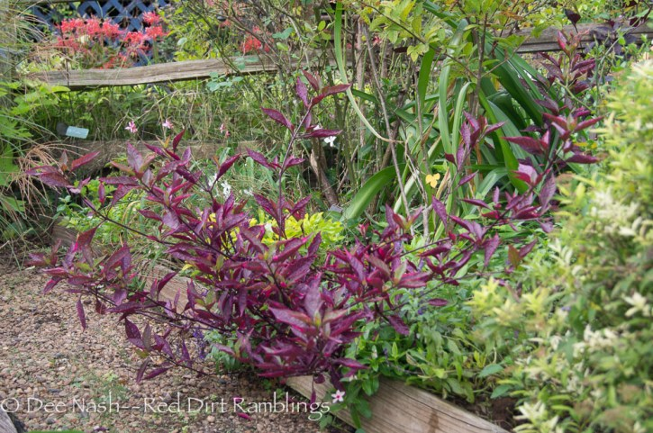 Alternanthera 'Brazilian Red Hots' is another one I'll never be without.