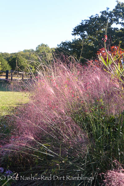 Pink muhly grass is starting to show its fall colors.