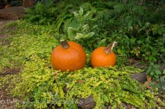 Pumpkins in the creeping Jenny
