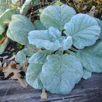 Salvia argentea, silver sage, I added to the garden last spring covered with frost.
