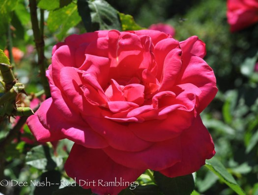 'Miss All American Beauty' rose I saw at FiLoLi in California.