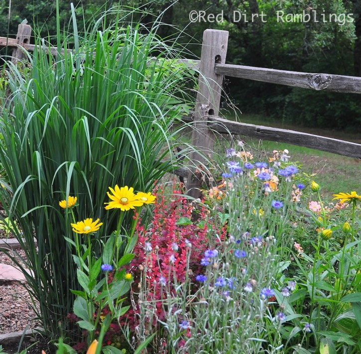 Panicum 'Northwind', 'Blue Boy' bachelor's buttons, Rudbeckia 'Irish Eyes'