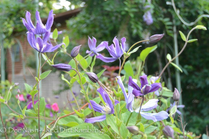 Clematis 'Queen of Holland'
