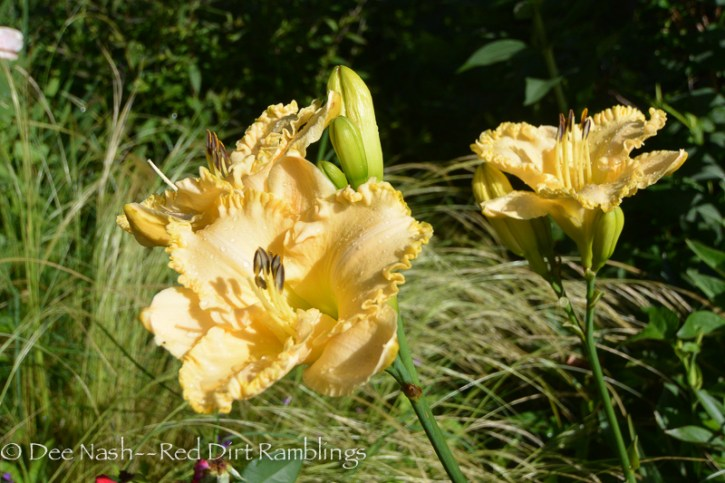 Hemerocallis 'Lace Cookies' that I bought a long time ago.