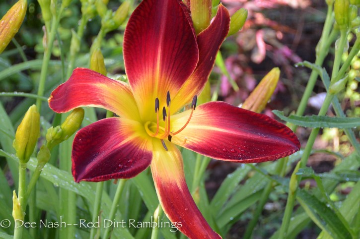 Hemerocallis 'Ruby Spider' which is one of the prettiest red daylilies in my garden. Hurrah for daylily season.