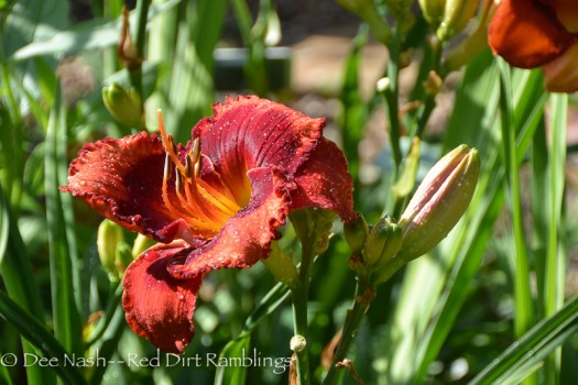 Hemerocallis 'Orange City'
