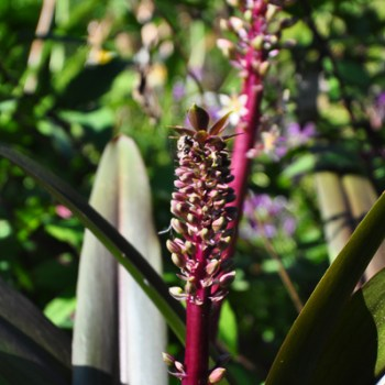 Eucomis 'Oakhurst' pineapple lily closeup