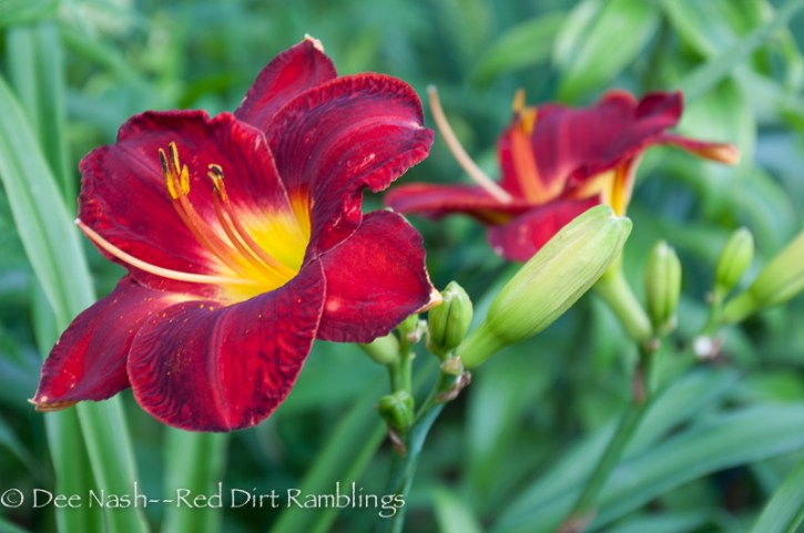 Hemerocallis 'Rocket Blast' (Niswonger 2001) has a lot of blue in its red. It also has a darker eyezone that you might not notice at first.
