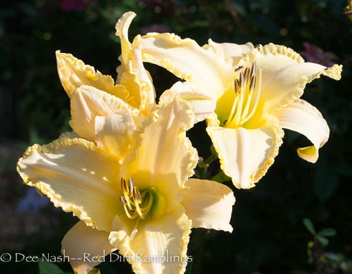 H. Liz Schreiner with tiny bees. This daylily is a very good pollinator plant, and it reblooms.