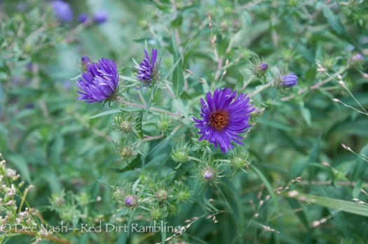 Aster novae-angliae 'Hella Lacy' was named for the wife of garden writer, Allan Lacy. It is a thing of beauty.