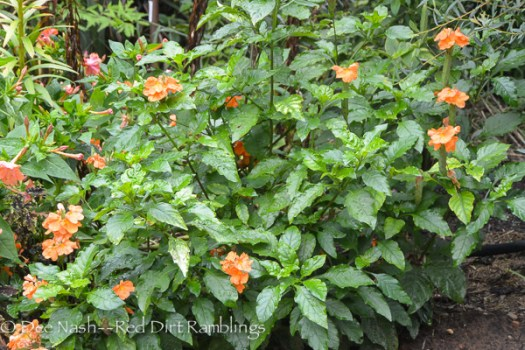 Crossandra nilotica, orange crossandra.