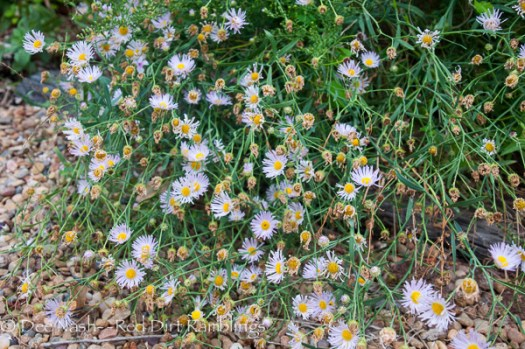 Symphyotrichum oblongifolium, fall aromatic aster in pink. Might be 'Raydon's Pink', but might not.