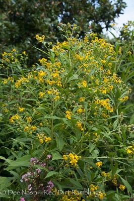 Verbesina alternifolia, yellow ironweed, bought at Bustani Plant Farm years ago.