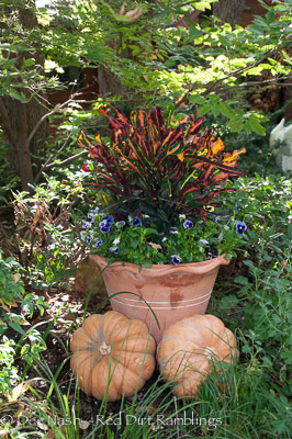 Container of crotons and blue pansies with pumpkins stacked up against it. Last year, I planted these same containers with yellow mums. That was pretty too.