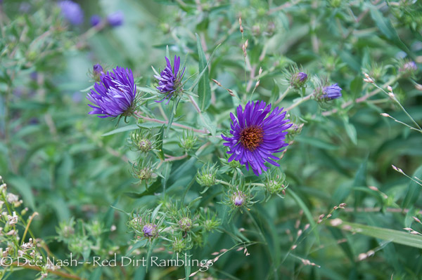 Aster novae-angliae 'Hella Lacy' blooms earlier than heath aster and willow aster.
