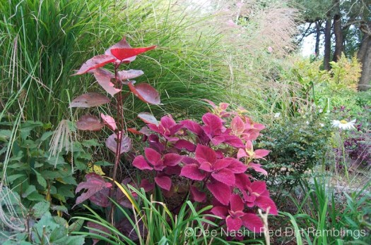In my garden, the story is rarely just about flowers. Coleus, probably 'Redhead', Acalypha wilkesiana - copperleaf plant and Miscanthus sinensis, maiden hair grass tell the story here.
