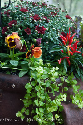 Delta Fire pansies with red peppers, a red mum and chartreuse creeping Jenny.