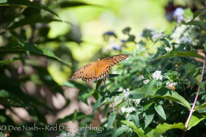Gulf Fritillary on mountain mint. I don't know which type of mountain mint I have, but it blooms all summer and fall.
