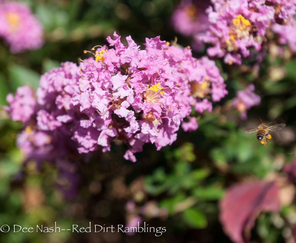 'Chickasaw' compact crapemyrtle with honeybee. Can you see how full her pollen sacks are?