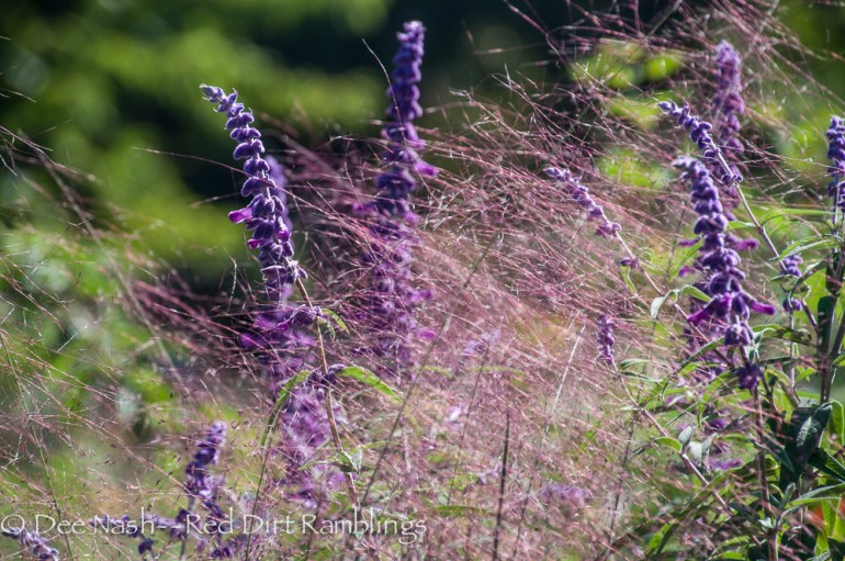 Muhlenbergia capillaris, Pink muhly grass with Salvia leucantha, Mexican sage.
